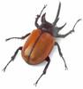 Real Rhino beetle Eupatorus gracilicornis  Bits & Bugs