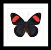 Batesia hypochlora Bits & Bugs