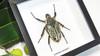 Beetle real bugs Goliathus orientalis female Bits & Bugs