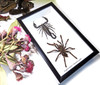 Spider Scorpion framed Bits & Bugs