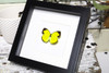 Framed Australian butterfly Eurema hecabe Bits&Bugs