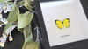 Australian real framed butterfly Eurema hecabe Bits&Bugs