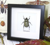 taxidermy framed beetle entomology Dynastes granti female