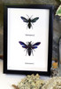 Wasps insect specimens in shadowbox frame Bits & Bugs