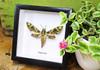 saturnid sphinx moth Africa Daphnis nerii   Bits & Bugs
