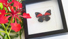 Agrias tryphon real butterfly in frame