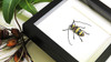 Longhorn beetle Nemophas tricolor Bits & Bugs