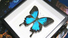 Australian butterfly insect in frame