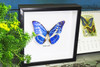 Morpho cypris framed Bits&Bugs