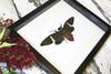 Cicada Tosena fasciata