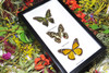 Australian butterflies framed Bits and Bugs