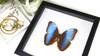 Butterfly framed Morpho peleides Bits&Bugs