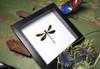 Euphaea variegata matt
