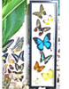 Australian insect butterfly collection