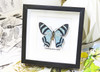 butterflies for sale Australia matt Bits&Bugs Alcides agathrysus
