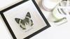 Moth Alcides agathrysus Bits & Bugs