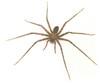 Rhytimna spp. huntsman spider