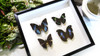 butterfly collection for sale Australia