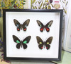 Parides species Bits & Bugs moth for sale blue butterfly lepidoptera  Peru