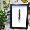centipede Scolopendra morsitians Bits & Bugs