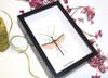 phasmid stick insect for sale Necroscia marginata Bits and Bugs
