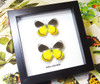 Butterfly real framed taxidermy specimen Delias rothschildi