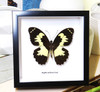 butterflies Australia for sale framed shadowbox real butterfly Papilio euchenor Bitsbugs