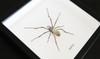 Australian spider Nephlia species arachnid in frame Bits & Bugs