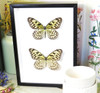 butterfly for sale Australia home decor interior design  Ideopsis sp