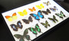 Butterfly rainbow collection Bits & Bugs