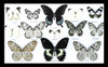 Butterfly collection black white  Bits & Bugs