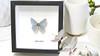 Australian butterfly Bits & Bugs