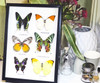 Real butterfly collection Bits & Bugs