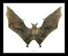 Eonycteris spelaea bat Bits & Bugs