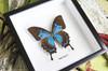 Papilio ulysses  female