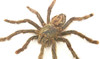 Spider real arachnid framed Avicularia avicularia Bits & Bugs