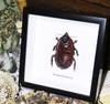 Macropanesthia rhinoceros  Bits & Bugs