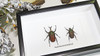 Beetles in shadowbox - Taxidermy - Megalorrhina harrisi haroldi Bits & Bugs