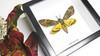 Acherontia styx aka Death's-head moth