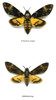 Death's-head moth differences