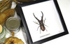 Beetle Cyclommatus imperator Bits & Bugs