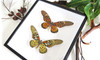 Butterfly framed Papilio antimachus Bits & Bugs