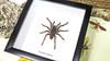 spider arachnid in shadow box - taxidermy - bitsandbugs