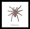 Spider arachnid Eurypelma spinicrus Bits & Bugs
