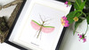 Stick insect pink wings Marmessoidea rosea Bits & Bugs