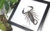 Real scorpion Heterometrus cyaneus Bits & Bugs