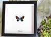 Day flying Moth framed Bits & Bugs