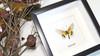 Butterfly Acraea igati Bits & Bugs