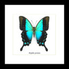 framed butterflies Papilio pericles Bits & Bugs