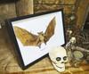 Macroglossus minimus bat